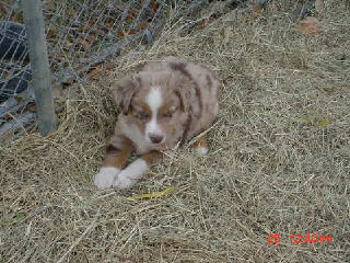Red Merle Male