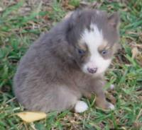Toy Blue Merle Male